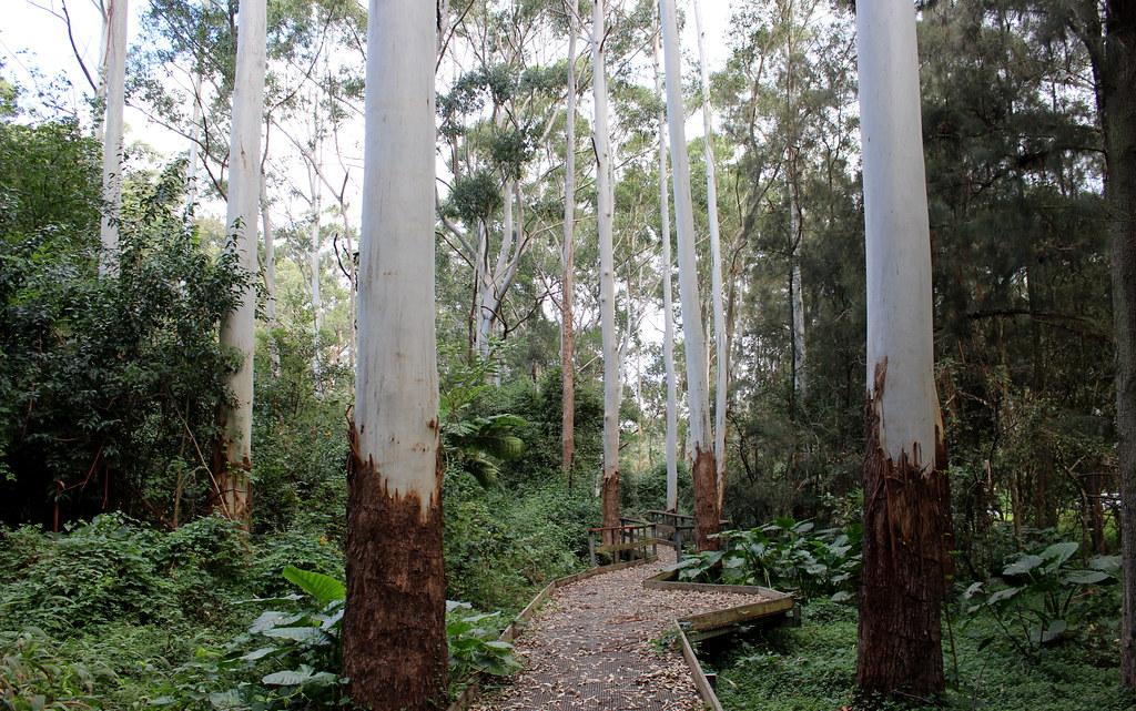 Flooded Gum (Eucalyptus grandis) Lady Game Drive