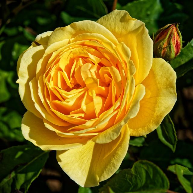 Rose jaune !