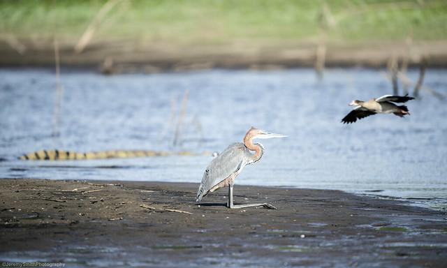 Goliath Heron (Explored), Ardea goliath, Msuna Fishing Resort, Zambezi River, Zimbabwe