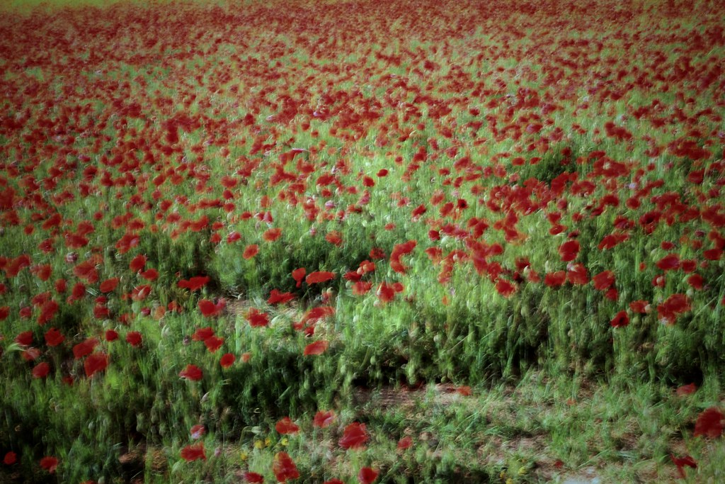 Field of poppies. Soft ICM during the exposure to get a V. van Gogh style