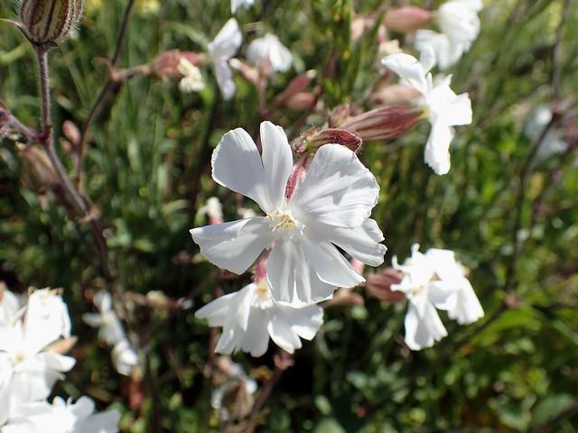 Silene latifolia - Compagnon blanc ou Lychnis à grosses graines ou Silène à larges feuilles - White campion - 24/05/19