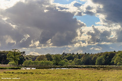 Sheep on Dwingelderveld