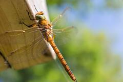 Dragonfly in my garden