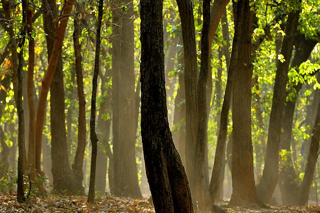 India, Bandhavgarh's forest