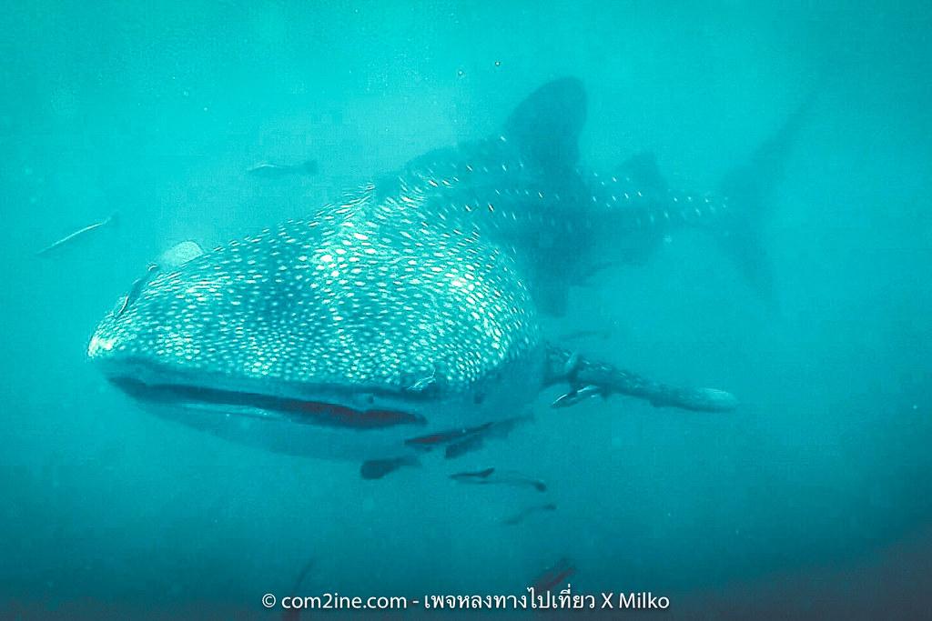 เจ้าจุด ฉลามวาฬ เกาะง่ามน้อย ทะเลชุมพร