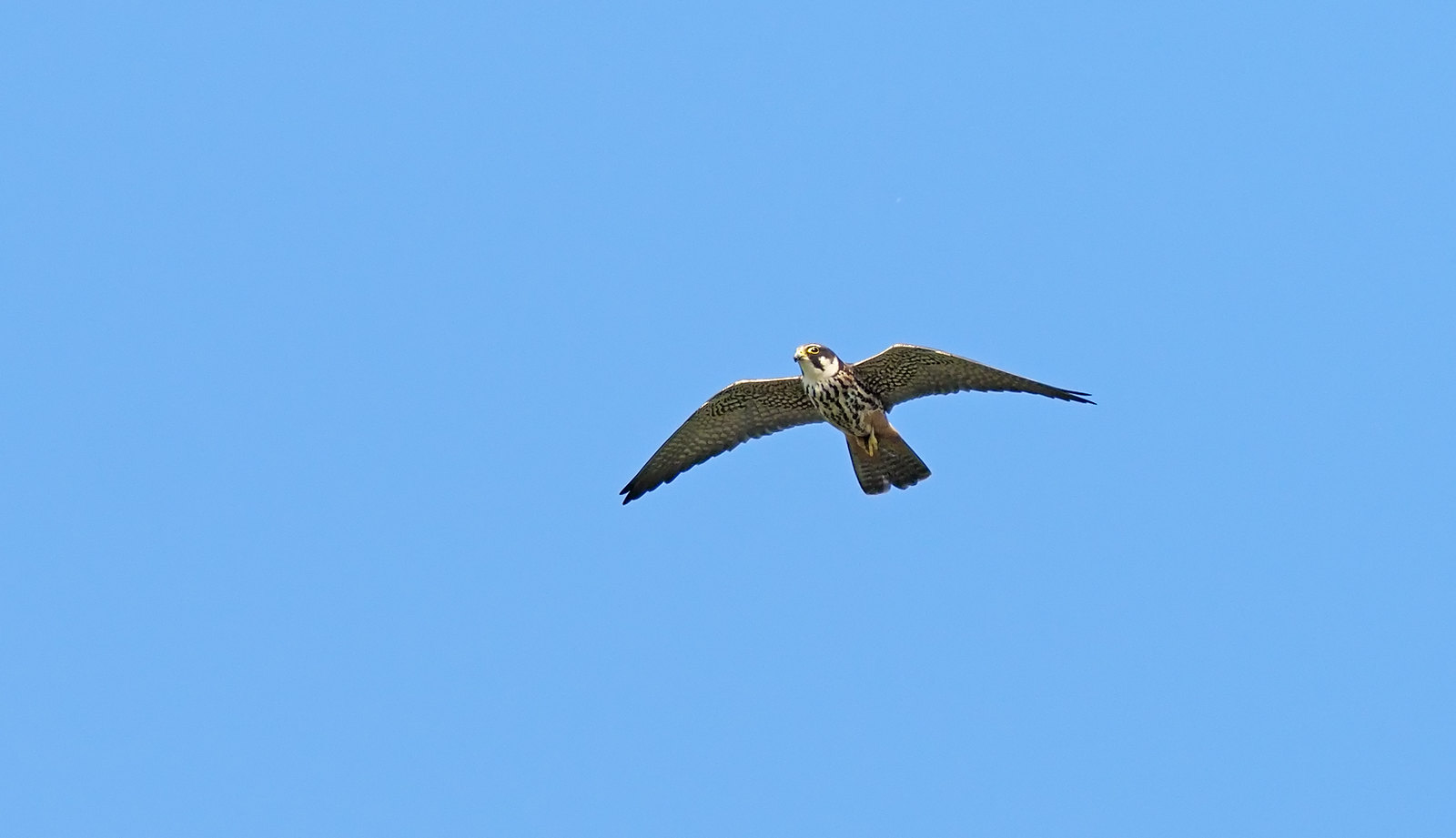 Hobby - bloomin' fast these birds....