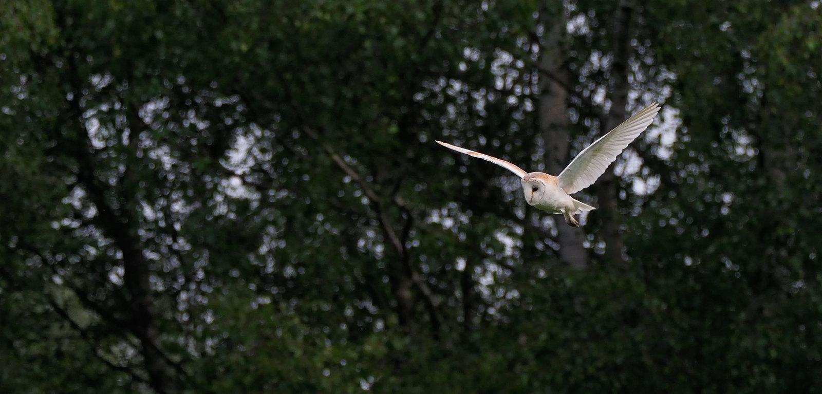 Barn Owl - hunting in broad daylight