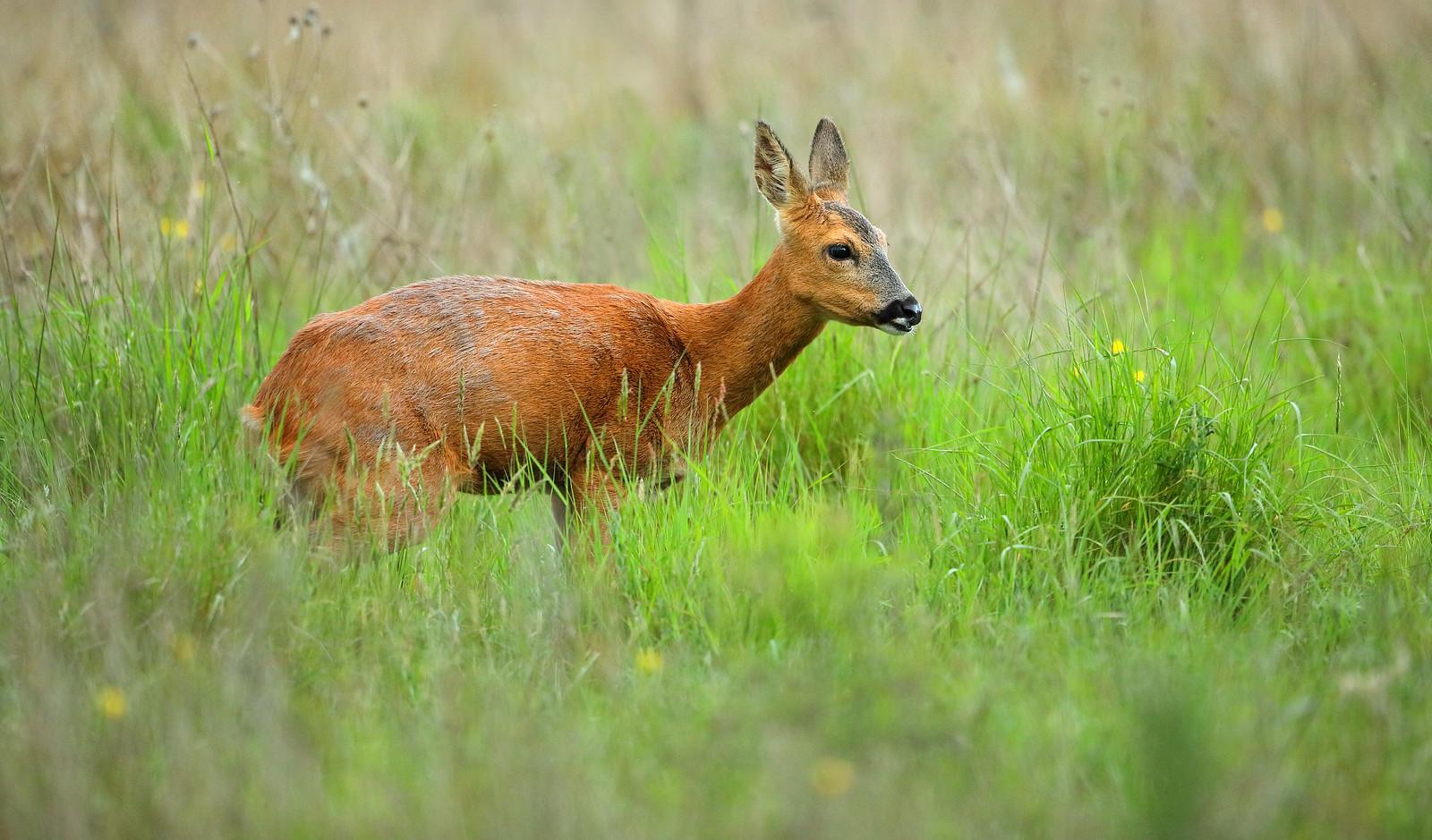 Pregant Roe Deer