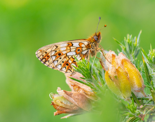 Small Pearl-bordered Fritillary on Gorse