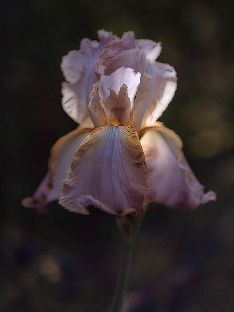 Iris at evening light