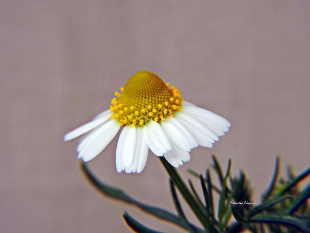 3_Matricaria chamomilla