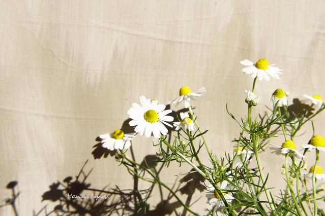 1_Matricaria chamomilla