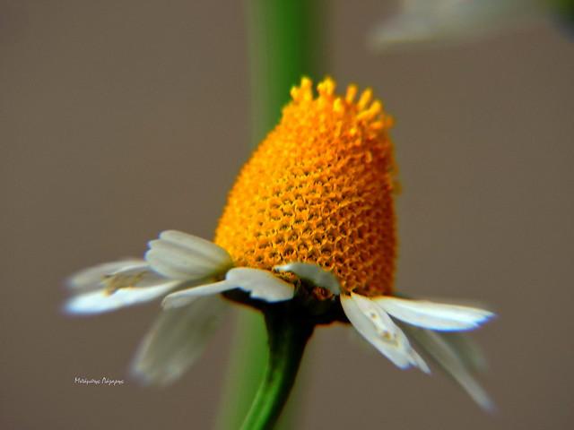 4_Matricaria chamomilla