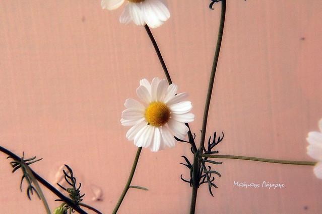 6_Matricaria chamomilla