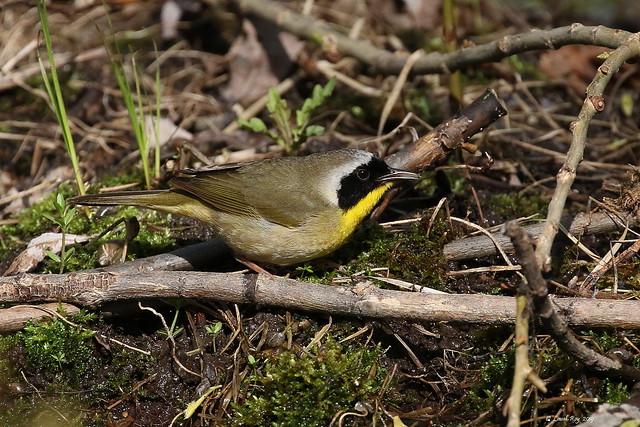 1.27712 Paruline masquée (mâle) / Geothlypis trichas trichas / Common Yellowthroat