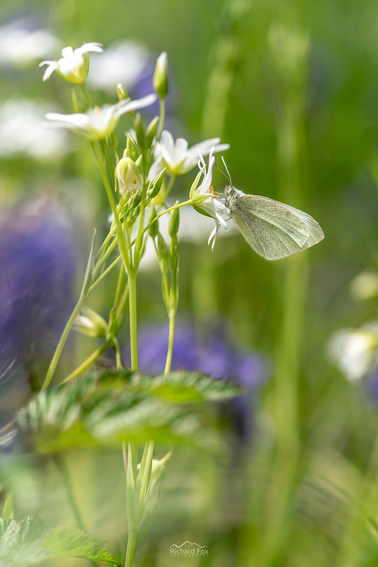 Small White | Pieris rapae