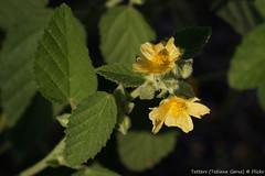 Flannel weed (Sida cordifolia)