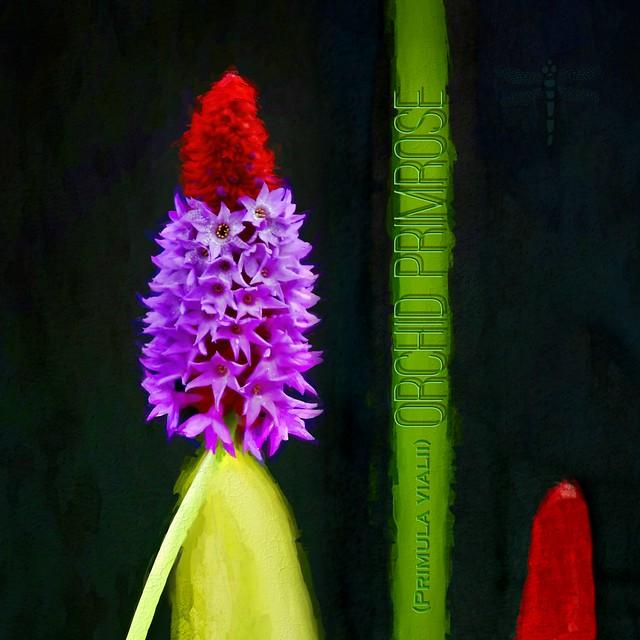 Orchid Primrose . . .