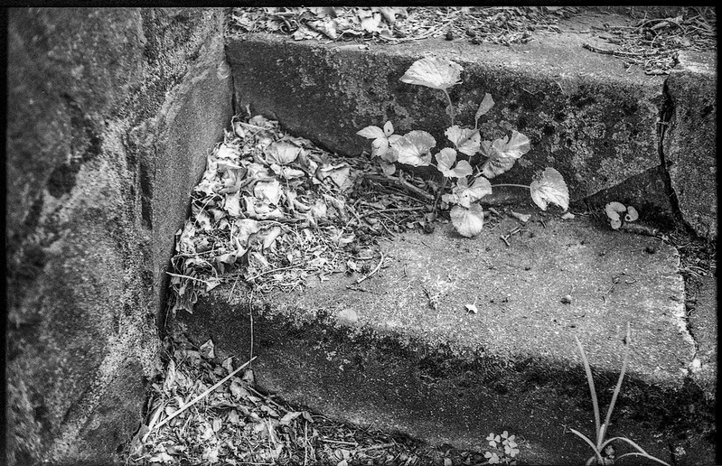 old concrete steps, emerging plant forms, dried leaves and twigs, Asheville, NC, Voigtlander Vitomatic II, Derev Pan 400, HC-110 developer, 5.25.19
