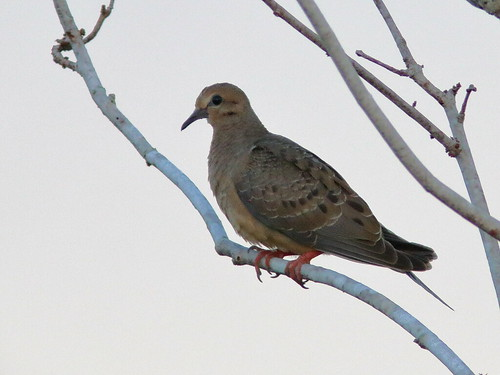 Mourning Dove at sunrise 20190528