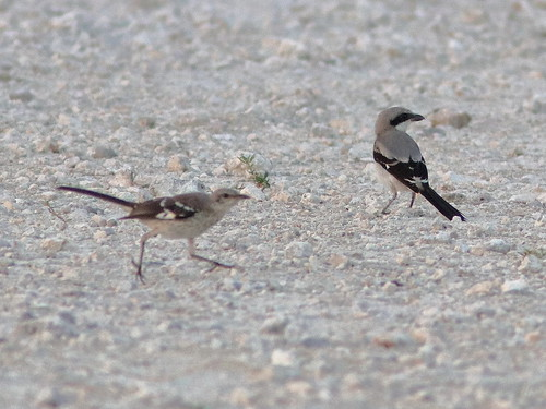Northern Mockingbird and Loggerhead Shrike 01-20190528