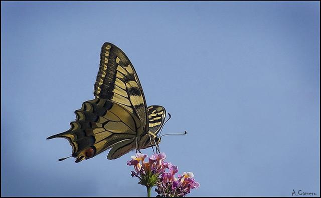Mariposa Macaón