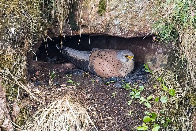 Kestrel (Male on the nest)