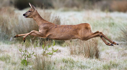 Leaping Roe | by sinky 911