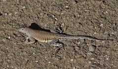 Cophosaurus texanus texanus, Texas Greater Earless-Lizard