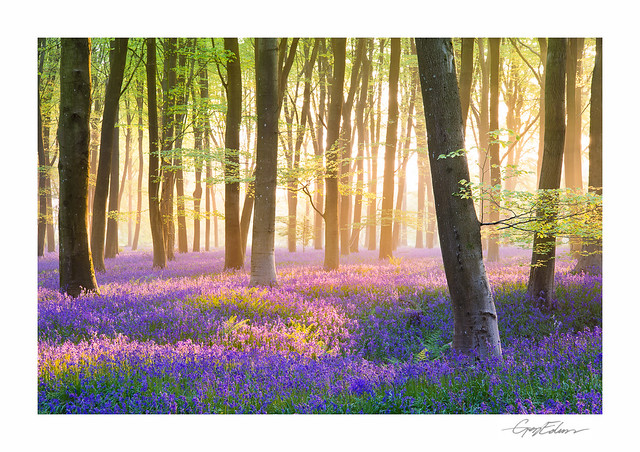 Dawn Bluebells