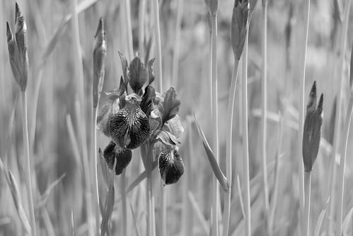bw flower iris чб цвет ирис