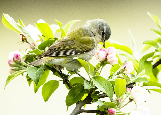 Tennessee Warbler sitting on Crabapple Blossoms