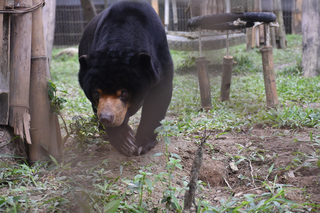 Sun bear Aurora explores her enclosure | Animals Asia's Viet… | Flickr