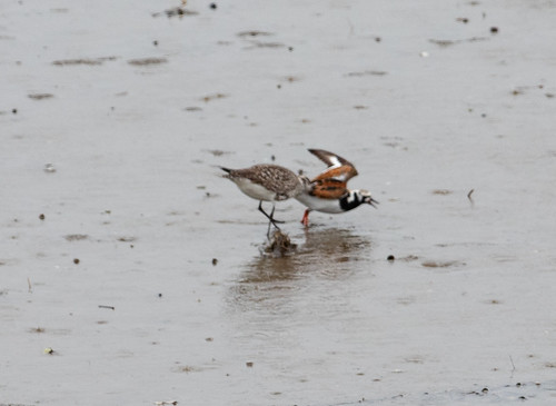 Black-bellied Plover attacking Ruddy Turnstone