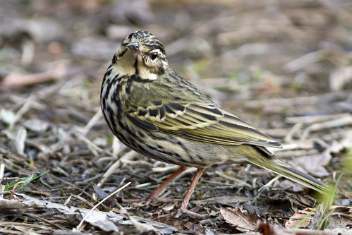 Olive-backed Pipit - Yunnan Province, China