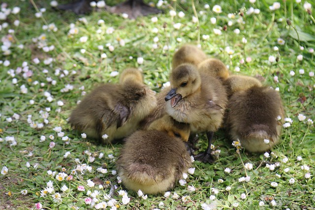 24th May 2019.  Canada Goose chicks on the towpath of the Peak Forest Canal near Portland Basin, Ashton-under-Lyne, Greater Manchester