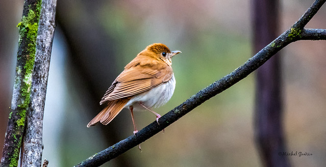 Grive fauve - Veery - Catharus fuscescens