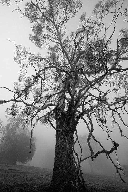 Fog & Tree (TASMANIA)