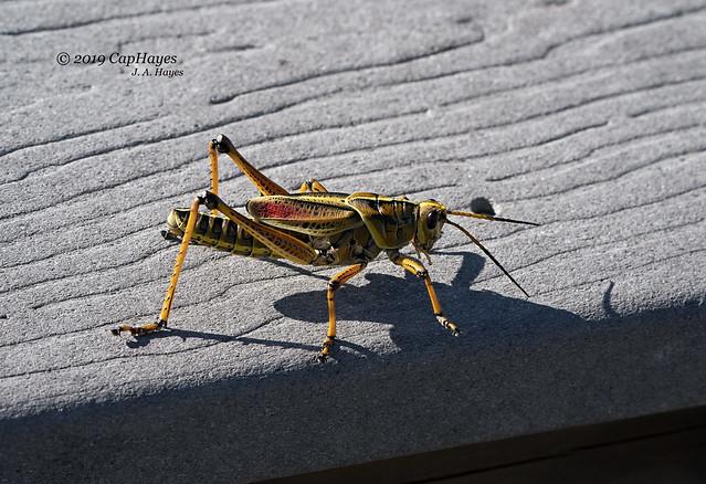 2019 05-28 Eastern Lubber Grasshopper 3DSC04870