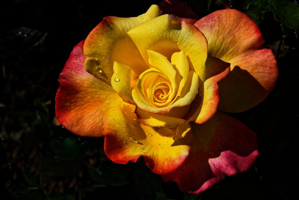 Rose bicolore