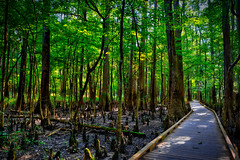 A boardwalk through bottomland forest