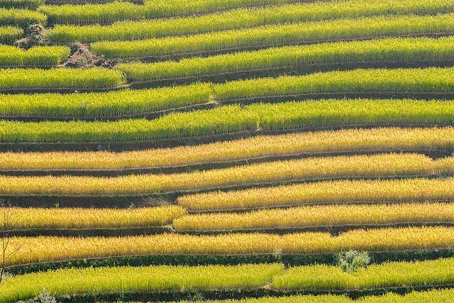 _Y2U9499.0916.Xím Vàng.Bắc Yên.Sơn La