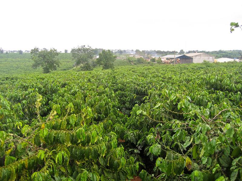 Một vùng canh tác cà phê Chè - Việt nam