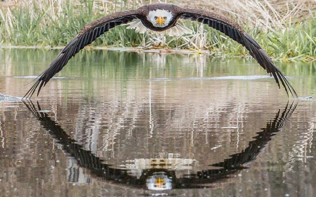 Bald Eagle by Steve Biro