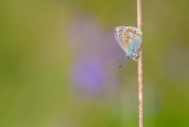 Common Blue amongst the Bluebells