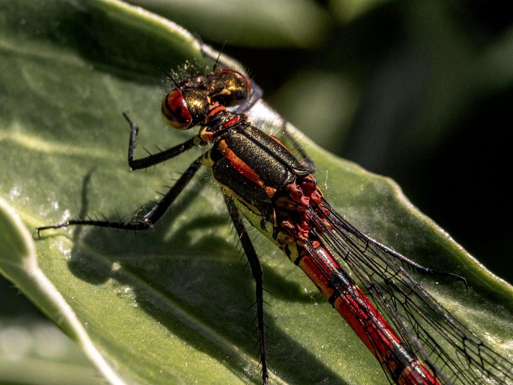 dragonflie close up
