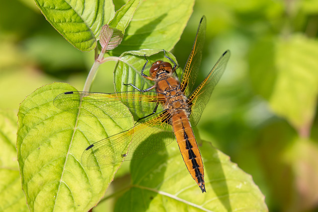 Scarce chaser #2 of 5