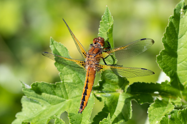 Scarce chaser #1 of 5