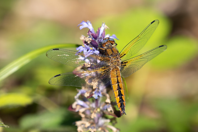 Scarce chaser #5 of 5