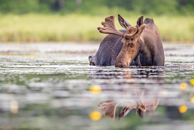 Moose Munch...
